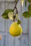 Peral con las peras verdes Foto de archivo libre de regalías