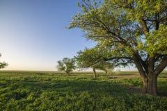Peral en campo verde Fotografía de archivo