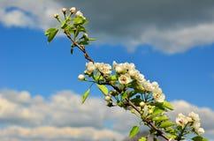 Peral floreciente Fotografía de archivo libre de regalías