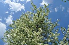 Peral floreciente blanco Imagen de archivo libre de regalías