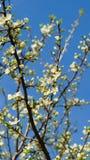 Peral floreciente contra la perspectiva del cielo azul imagen de archivo