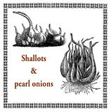 Peral onions and shallots, vintage agriculture engraving Royalty Free Stock Image