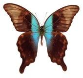 Peranthus di papilio della farfalla Fotografia Stock