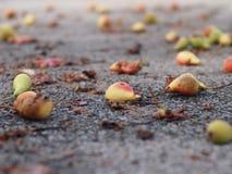 Peras caidas que mienten en la tierra Fotografía de archivo