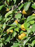 Peras de amadurecimento em uma árvore de pera Imagem de Stock Royalty Free