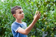 Peras de la cosecha del muchacho Foto de archivo