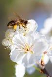 Peras de las flores Imagenes de archivo