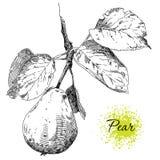 Peras do desenho da mão no ramo de árvore da pera Fotografia de Stock