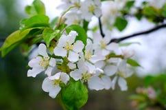 Peras do ramo com flores brancas fotografia de stock