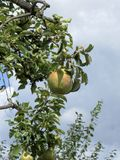 Peras em ramos de árvore Foto de Stock Royalty Free