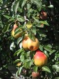 Peras en el árbol foto de archivo libre de regalías