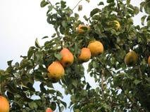 Peras en el árbol imagen de archivo libre de regalías