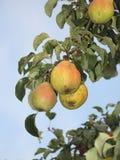 Peras en el árbol fotos de archivo