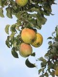 Peras en el árbol fotografía de archivo