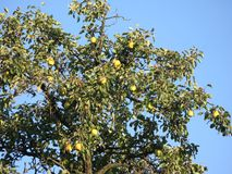 Peras en el árbol fotos de archivo libres de regalías