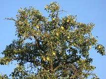 Peras en el árbol fotografía de archivo libre de regalías