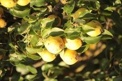 Peras en la rama Foto de archivo