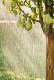 Peras en un primer de la rama de árbol en huerta Imagenes de archivo