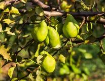Peras en una rama Foto de archivo