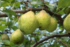 Peras en una rama de árbol Imagen de archivo