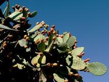 Peras espinhosas com muitos frutos sobre o céu azul Fotografia de Stock