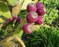 Peras espinosas Foto de archivo libre de regalías