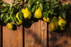 Peras frescas con las hojas en rama fotografía de archivo libre de regalías