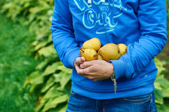 Peras frescas en manos femeninas foto de archivo libre de regalías