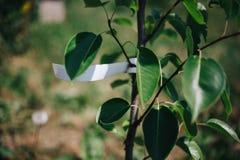 peras jovenes del árbol con la etiqueta vacía, plantando árboles frutales adentro fotos de archivo
