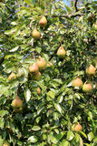 Peras jugosas en árbol Foto de archivo