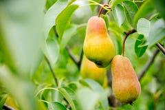 Peras maduras em uma árvore com folhas verdes Foto de Stock