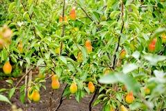 Peras maduras em uma árvore com folhas verdes Fotos de Stock