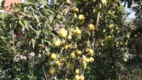 Peras maduras en un árbol