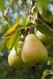 Peras maduras en una rama con las hojas Imagen de archivo