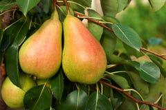 Peras maduras na árvore fotografia de stock royalty free