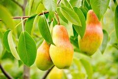 Peras maduras no ramo com folhas verdes Imagens de Stock Royalty Free