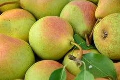 Peras maduras recolectadas en el jardín de la fruta Imágenes de archivo libres de regalías