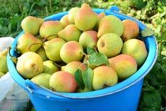 Peras maduras recolectadas en el jardín de la fruta Foto de archivo libre de regalías