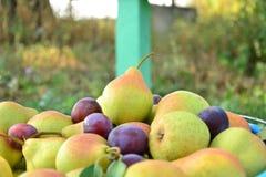 Peras maduras recolectadas en el jardín de la fruta Fotografía de archivo libre de regalías