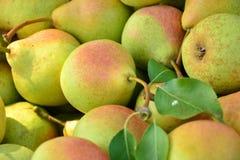 Peras maduras recolectadas en el jardín de la fruta Imagen de archivo libre de regalías