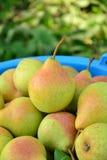 Peras maduras recolectadas en el jardín de la fruta Fotografía de archivo