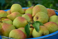 Peras maduras recolectadas en el jardín de la fruta Foto de archivo