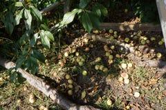 Peras maduras sob uma árvore Imagem de Stock