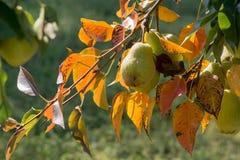 Peras na árvore Imagem de Stock