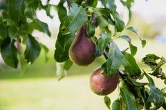Peras na árvore Foto de Stock Royalty Free
