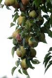 Peras na árvore Fotografia de Stock Royalty Free