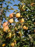 Peras na árvore Imagens de Stock Royalty Free