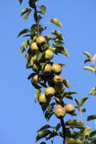 Peras na árvore Imagem de Stock Royalty Free