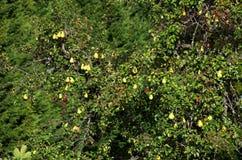 Peras na árvore de pera fotos de stock royalty free