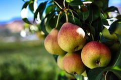 Peras na árvore de pera com uma paisagem do céu azul imagem de stock